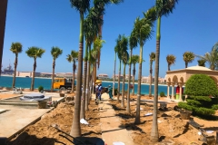 Royal Palm-Fixing-1