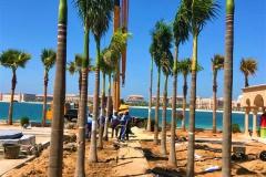 Royal Palm Fixing